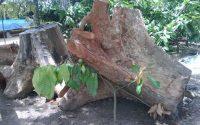 Gỗ gù hương có mấy loại? có tốt không và cách nhận biết gỗ gù hương
